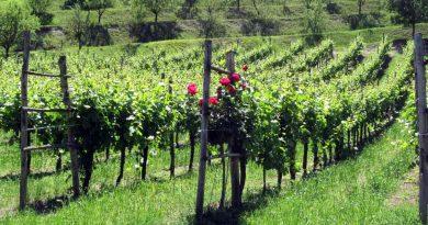 A cosa servono le rose all'inizio dei vigneti in Oltrepo Pavese